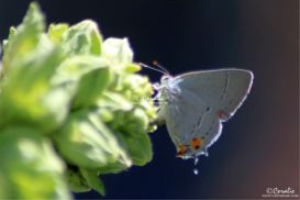 gray hairstreak butterfly laying eggs web