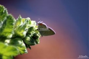 Colorful Gray Hairstreak Butterfly web | Photos and Images | Animals