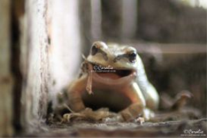 Frog Eating Smiling web | Photos and Images | Animals