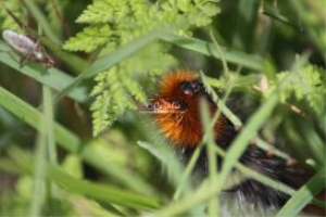 banded woolly bear caterpillar 188
