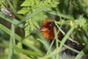 banded woolly bear caterpillar 188 web