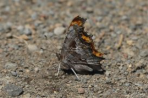 comma butterfly 695 web
