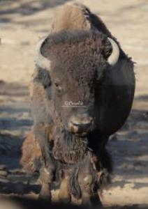 attention of a buffalo