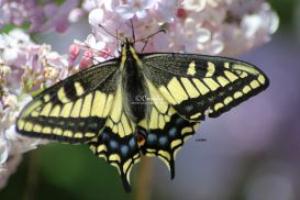 yellow black swallowtail butterfly 027