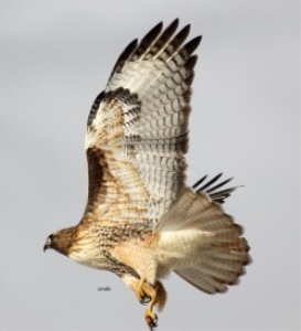 red tailed hawk flying away