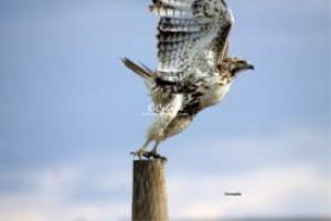 young red tailed hawk 863