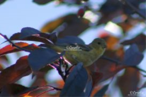 american goldfinch web | Photos and Images | Animals
