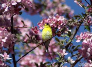 American Goldfinch Singing In The Apple Tree Series Web | Photos and Images | Animals
