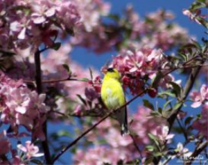 american goldfinch singing in the apple tree series web