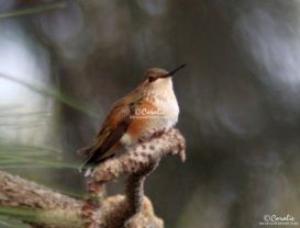 hummingbird at rest web