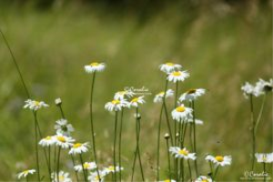 wild daisy flowers web