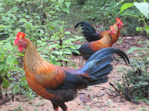 Sri Lankan Jungle Fowl | Photos and Images | Animals