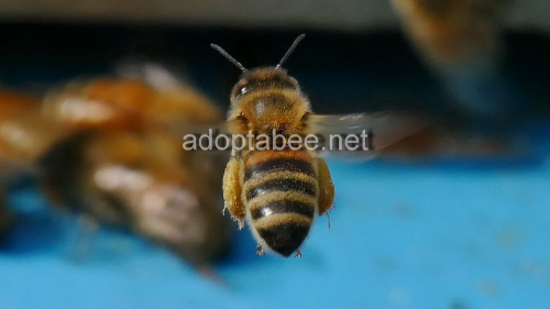 First Additional product image for - Pictures - Spring Honey Bees Beekeeping 2016