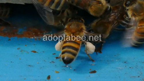 Second Additional product image for - Pictures - Spring Honey Bees Beekeeping 2016