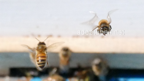 Third Additional product image for - Pictures - Spring Honey Bees Beekeeping 2016