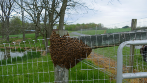 Honey Bee Swarm Captured - bees beekeeping beekeeper honey beehive | Movies and Videos | Educational