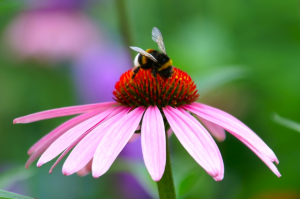 Purple Coneflower | Photos and Images | Nature