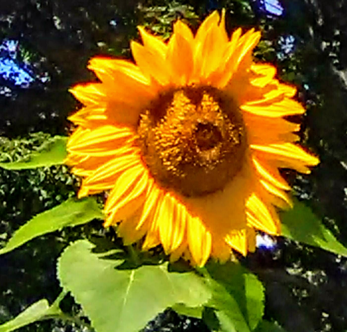 First Additional product image for - Sun Flowers