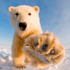 Polar bear | Photos and Images | Animals