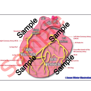 coronary artery (pdf) study card