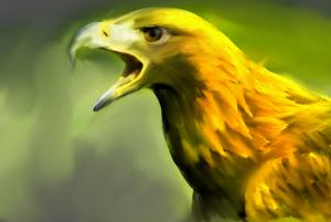 yellow hawk