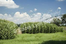 Corn Rows Under Irrigator (Low Res) | Other Files | Photography and Images