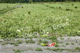 Melon Field (Low Res) | Other Files | Photography and Images