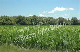 New Corn (Low Res) | Other Files | Photography and Images