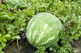 Watermelon in the Field (Low Res) | Other Files | Photography and Images