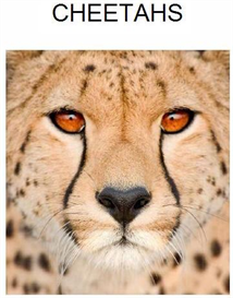 Cheetahs | eBooks | Education
