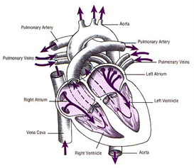 ap1.2.10 Heart | Audio Books | Science