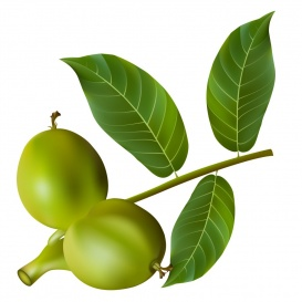 Vectorlib RF (Standard License): Green walnuts with leaves