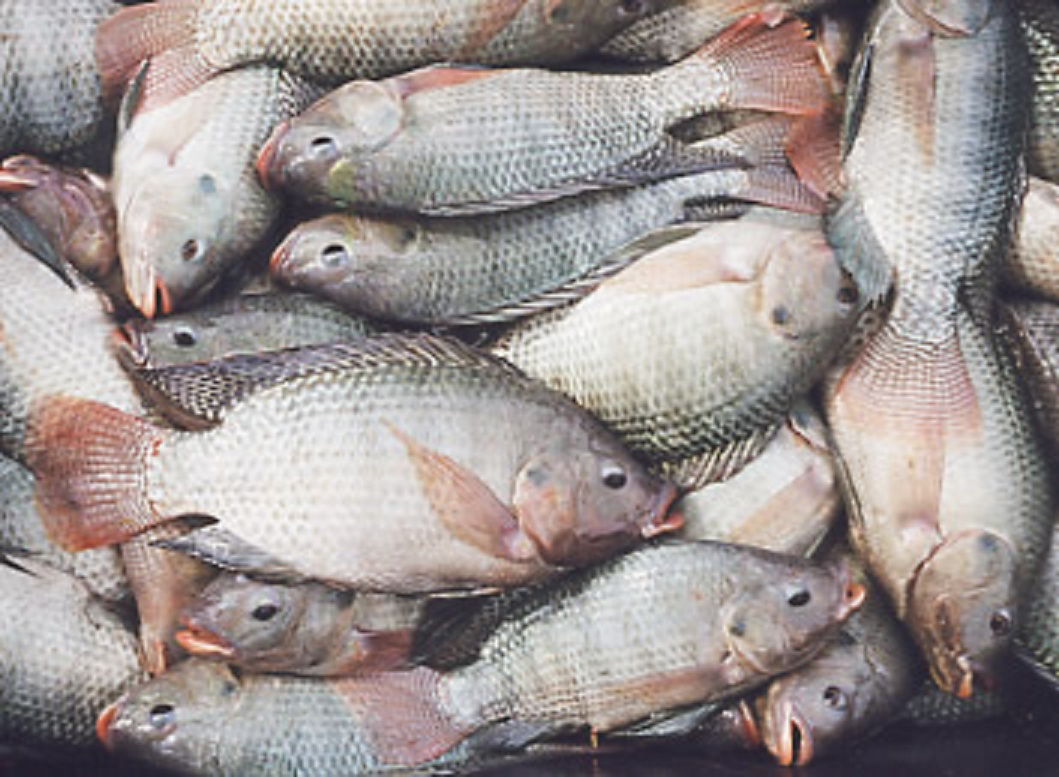 Tilapia farming and aquaculture pdf ebook ebooks technical for Manual de piscicultura tilapia