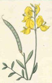 oswald : airs for the seasons - spanish broom : violin