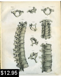 Cervical Thoracic Spinal Anatomy Print | Photos and Images | Vintage