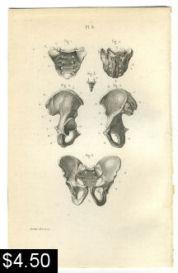 pelvic bones anatomy print