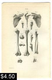 arm bones anatomy print