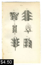 Spinal Vertebrae Bones Anatomy Print | Photos and Images | Health and Fitness