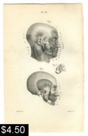 Facial Muscles Anatomy Print | Photos and Images | Vintage