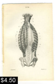 Muscles of the Back Spine Print | Photos and Images | Vintage