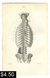 Muscles of the Back Anatomy Print | Photos and Images | Vintage