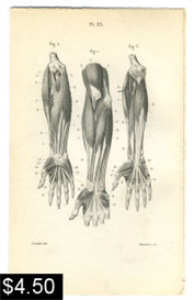Arm and Hand Muscles Anatomy Print | Photos and Images | Vintage