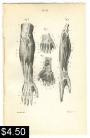 Hand and Arm Muscle Anatomy Print | Photos and Images | Vintage