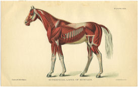 Horse Muscle Anatomy print | Photos and Images | Animals