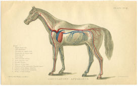 horse anatomy print blood vessels