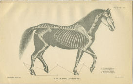 Horse Skeletal Anatomy Print | Photos and Images | Animals
