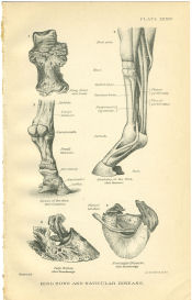 Horse Hoof Anatomy Print | Photos and Images | Animals