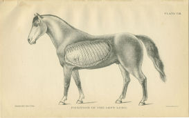 horse lung anatomy print