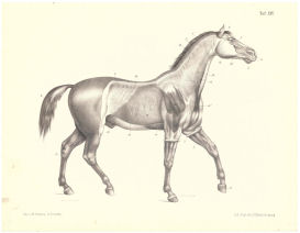Horse Muscle Anatomy Print 1888   Photos and Images   Animals
